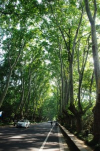 Avenue of plane trees in Purple Mountain